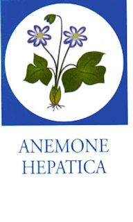 Anemone Hepatica - Leverforeningen